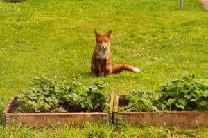 feeding-foxes-throughout-lockdown-derby