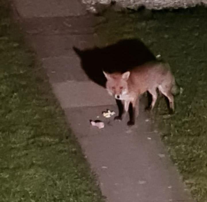 feeding-foxes-throughout-lockdown-student-accomodation-derby